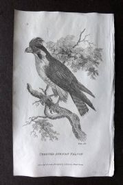Shaw 1809 Antique Bird Print. Crested African Falcon